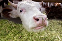 The curious cow Royalty Free Stock Photo