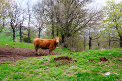 curious cow grazing on Italian hills Royalty Free Stock Photography