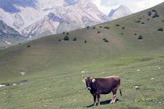 Curious cow in Kyrgyz Ata National Park stock photography