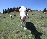 Curious cow with long muzzle looks curious inside the fish eye l Stock Photography