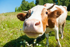 Curious cow in the meadow Stock Photos