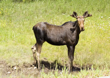 Curious cow moose. In the rockies, canada - adobe RGB royalty free stock image