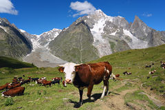 Curious cow in mountain meadow Royalty Free Stock Photo