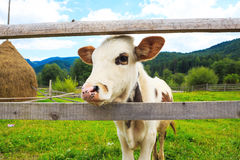 Curious cow muzzle. Series of photos Royalty Free Stock Images