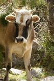 Curious cow on pasture in Pamir-alay Stock Images