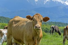 Curious cow on a summer pasture Royalty Free Stock Photo