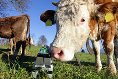 Curious cow with a toy Royalty Free Stock Photography