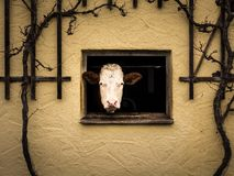 Curious cow watching out of the window of cowshed. Photo shows a cow watching curiously out of its cowshed Stock Photos