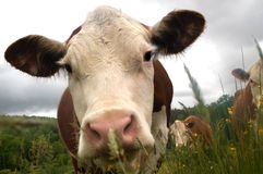 Curious cows. Come in for a closer look at photographer Royalty Free Stock Images