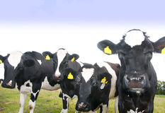 Curious cows. In a meadow watching photographer Royalty Free Stock Photography