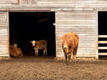 Curious Cows. Heifers curiosly watching as they are photographed near an old gray barn Stock Photos