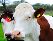 Curious Cows. Curious cattle standing in a field royalty free stock image