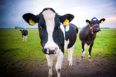 Curious cows. In a Dutch meadow Royalty Free Stock Photography