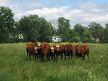 Curious Cows Stock Photography