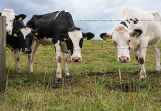 Curious cows at the barbed wire fence. Closeup of curiously looking cows near a fence of barbed wire and wooden poles Stock Photos