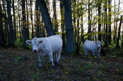 Curious cows in the forest Stock Photos