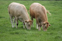 Curious Cows are grazing in the meadow Royalty Free Stock Image