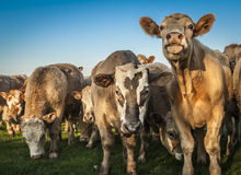 Curious Cows. A herd of curious brown cows looking into the camera Royalty Free Stock Photo