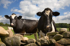 Curious cows look over wall Stock Images
