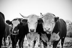 Three curious cows looking at the camera in black and white Stock Image