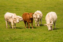 Curious cows on a meadow. Looking into the camera Royalty Free Stock Image