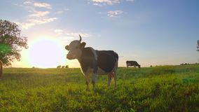Curious cows in a meadow. At sunset stock video footage