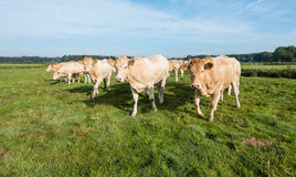 Curious cows in a row Royalty Free Stock Photo