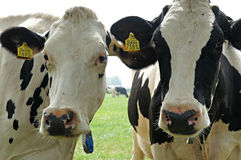 Curious cows. Two curious cows in a pasture stock image