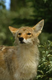 Curious Coyote Royalty Free Stock Photography