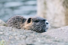 Curious coypu looking for something to eat. Funny wild animal also known as myocastor coypus or river rat stock image