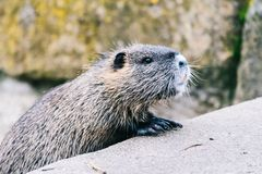 Curious coypu looking for something to eat. Funny wild animal also known as myocastor coypus or river rat royalty free stock image