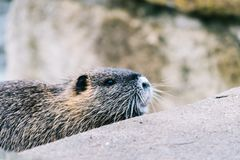 Curious coypu looking for something to eat. Funny wild animal also known as myocastor coypus or river rat stock photos