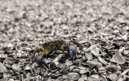 Curious crab Royalty Free Stock Images
