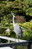 Curious Crane Royalty Free Stock Photos