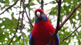 Curious crimson rosella in a tree royalty free stock photos