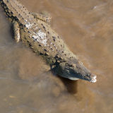 Curious Crocodile Stock Photography