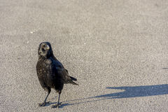 Curious crow in Lausanne, Switserland. Outdoor shot using natural light Stock Photography