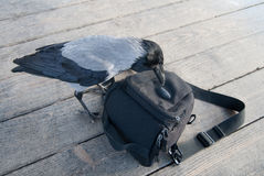 Curious Crow examines bag. stock images