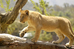 Curious Cub Royalty Free Stock Images