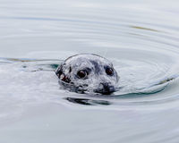 Curious! Curious seal looking for food Stock Images