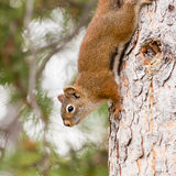 Curious cute American Red Squirrel climbing tree Royalty Free Stock Images