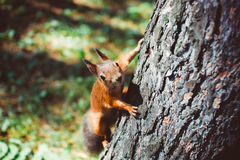 Small rodents on the trunk of a tree. Curious cute American Red Squirrel, Tamiasciurus hudsonicus, climbing up a pine tree trunk Royalty Free Stock Images