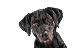 Curious cute black dog Royalty Free Stock Photography