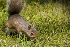 Curious and cute brown squirrel in a green field Royalty Free Stock Photos