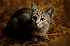 A curious and  cute tabby kitten sitting on a vintage couch. Stock Image