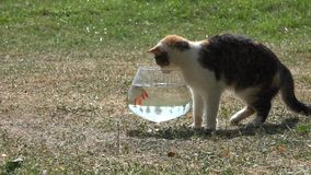 Curious cute cat try to catch rudd fish through aquarium glass. Closeup. 4K stock video