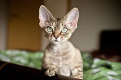 Curious cute devon rex kitten. Kitten is looking what is going on. Cat portrait with curiosity expression Royalty Free Stock Photos