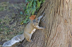 Curious cute grey squirrel Stock Photo