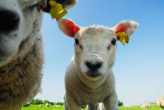 Curious Cute Lamb Royalty Free Stock Images
