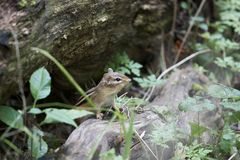 The curious cute little chipmunk. Royalty Free Stock Images